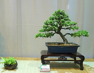 Fukien tea - Carmona macrophylla, Carlos A. Morales